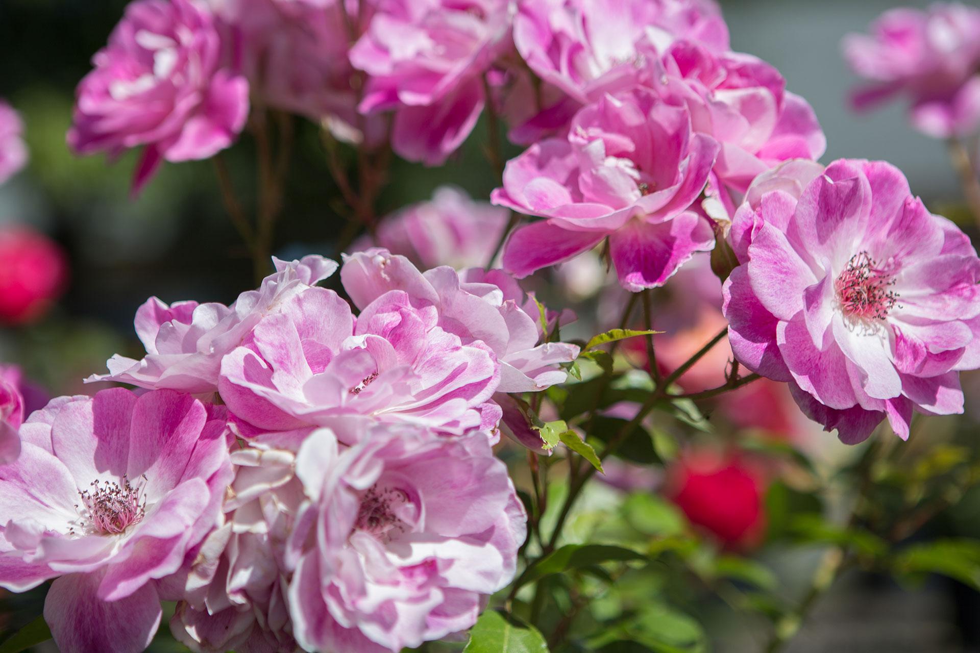 rose-garden-university-park-image3